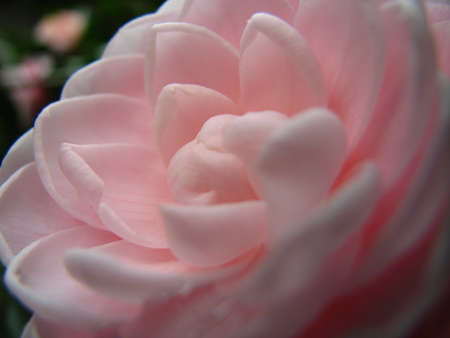 by virtue: Camellia close up