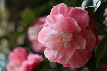 ideals: camellia