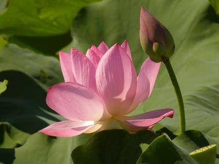constancy: Lotus