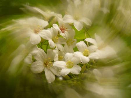 transverse: Vernicia fordii;flowers Stock Photo