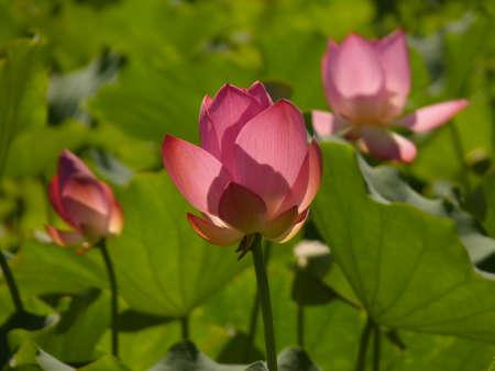 constancy: Lotus;pink;summer;gentleman;aquatic herb