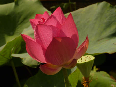 aquatic herb: Lotus;pink;summer;gentleman;aquatic herb