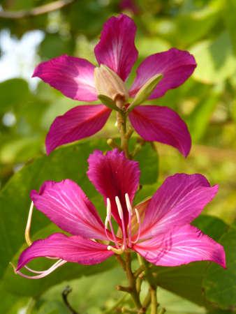 yan: Yan Bauhinia;Hong Kong;flowers;bright; pink