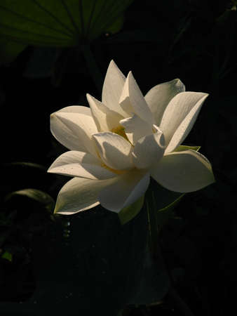 aquatic herb: Lotus;white;summer;aquatic herb;Buddhism;
