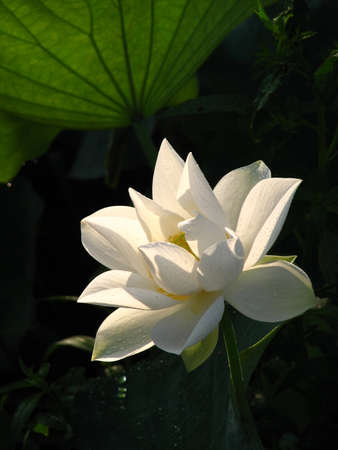constancy: Lotus;white;summer;aquatic herb;Buddhism;