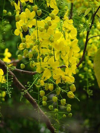 fabaceae: Cassia fistula