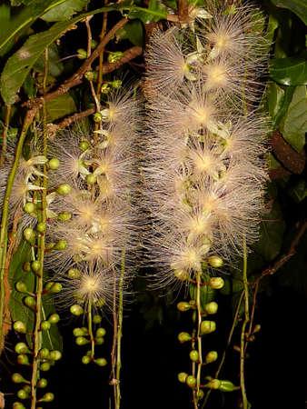 barringtonia: barringtonia racemosa