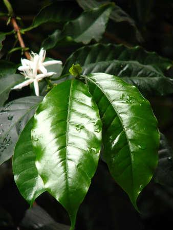 tropical shrub: coffee