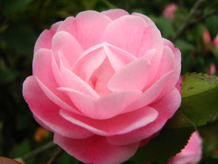 dignified: camellias