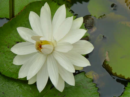 water lilies: Water lilies