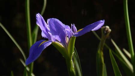 eloquent: iris
