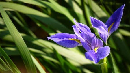 eloquent: purple iris