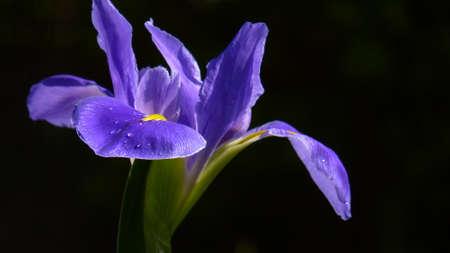 adaptable: purple iris