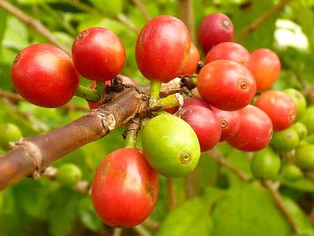 robusta: coffee fruit ripening on the tree