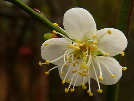 white plum flower Stock Photo