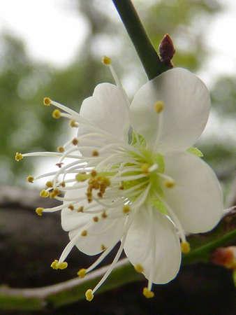 unyielding: white plum flower Stock Photo
