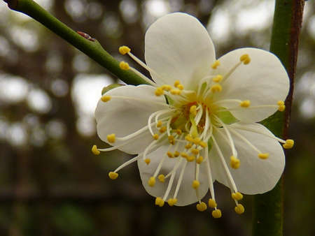resolute: white plum flower Stock Photo
