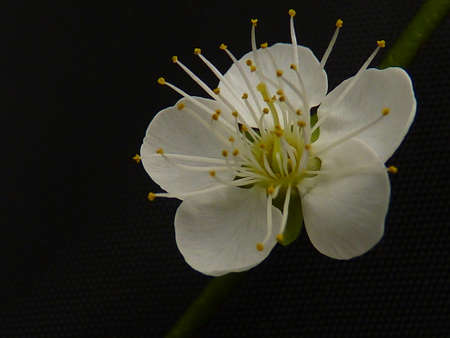 unyielding: Japanese apricot, ume
