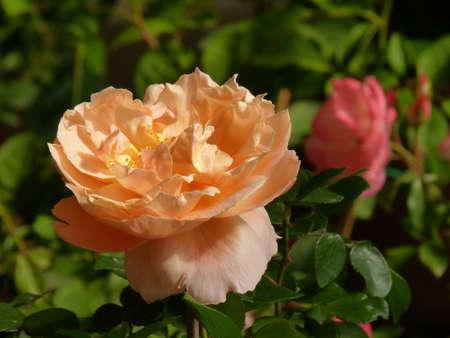 sentimental: rose