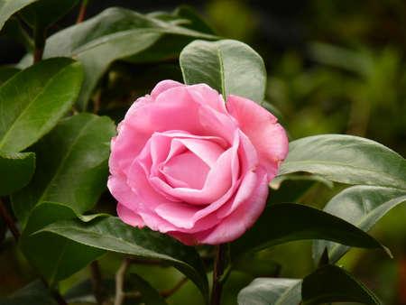 camellia: camellia