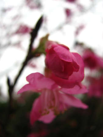 nobles: pink cherry blossoms