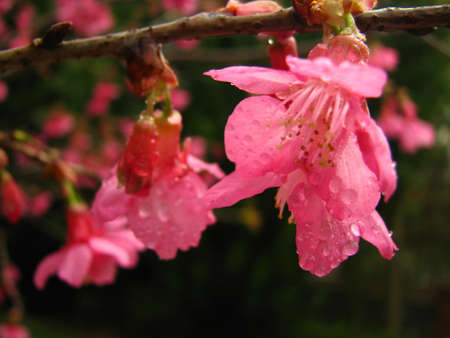 nobles: Pink cherry blossoms bring a breath of spring