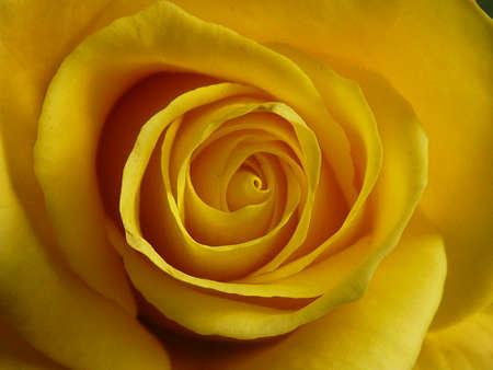 vows: rose