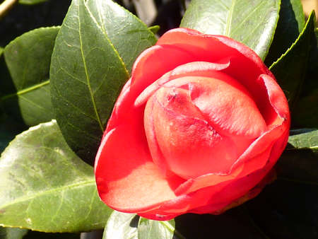 dignified: Elegant camellias