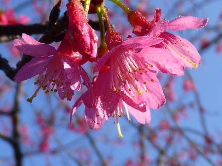 cerezos en flor: cherry blossoms