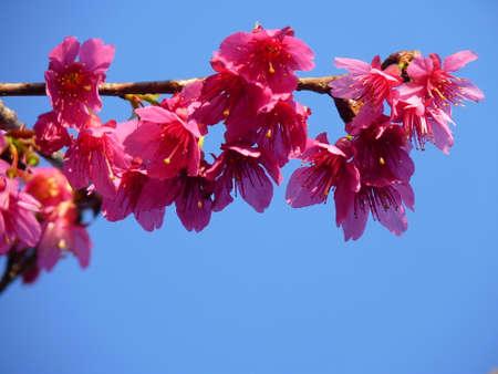 nobles: Cherry blossomCherry blossom