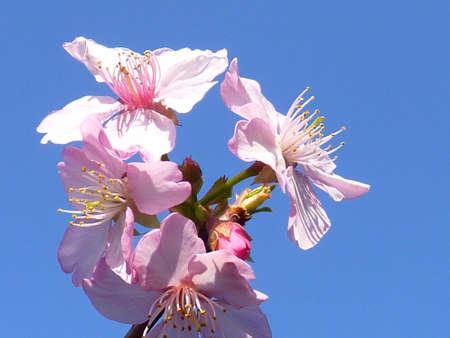 nobles: cherry blossom