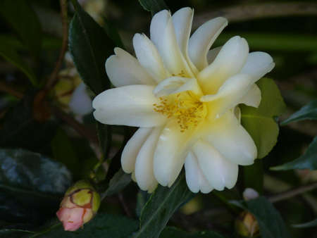 dignified: Beautiful camellia