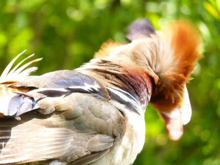 luster: mandarin duck Stock Photo