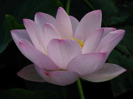 dignified: Summer p Summer pink lotusink lotus