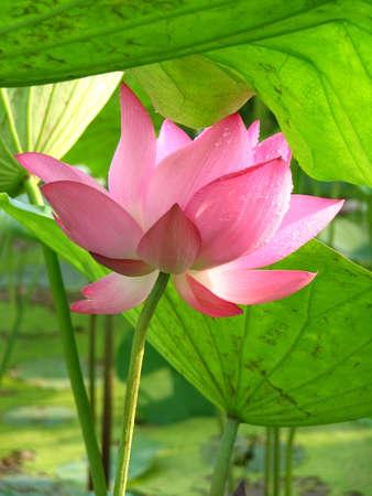 여름 핑크 연꽃