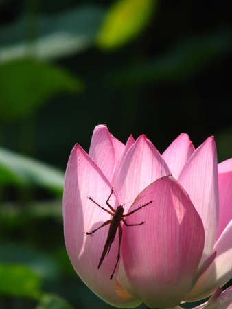 dignified: Lotus with insect
