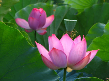 east: east indian lotus Stock Photo