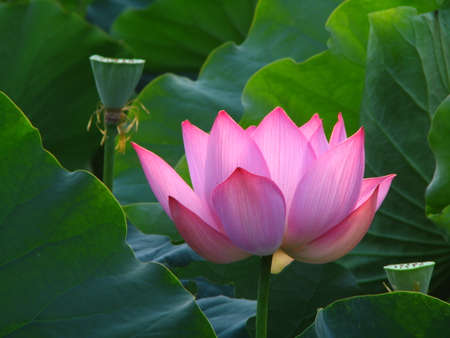 east indian: east indian lotus Stock Photo
