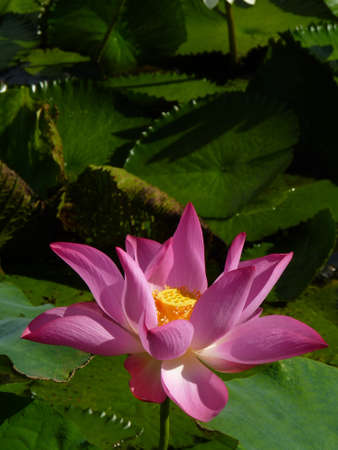 Lotus is a symbol of pure