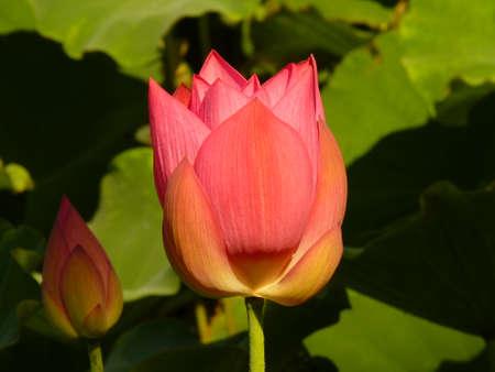 Lotus is blooming in the summer