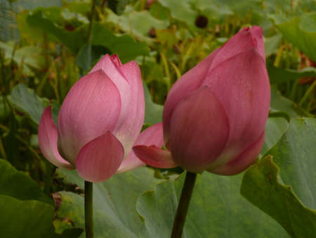 A beautiful blooming lotus in the summer 版權商用圖片 - 86024067