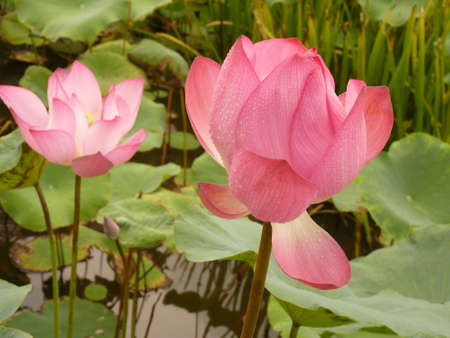 Beautiful lotus is blooming in the summer