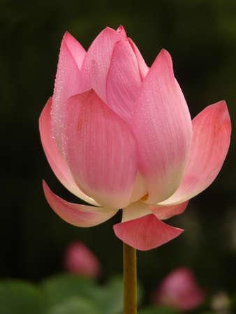 A beautiful blooming lotus in the summer 版權商用圖片