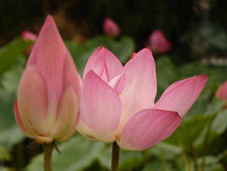 Lotus is blooming in the summer Stock Photo - 85427590