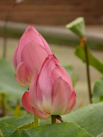 Beautiful pink lotus blooming in the summer 版權商用圖片