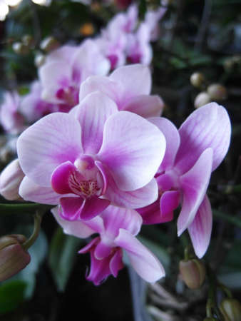 Orchid plants are widely distributed throughout the world Stock Photo - 113033023