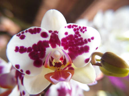 Orchid plants are widely distributed throughout the world Stock Photo - 113033397