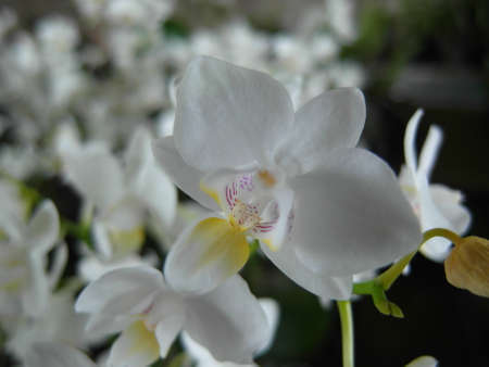 Orchid plants are widely distributed throughout the world Stock Photo - 113033403