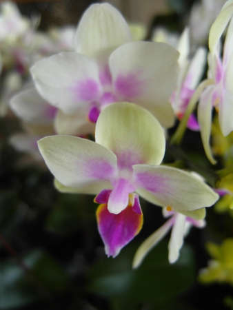 Orchid plants are widely distributed throughout the world Stock Photo - 113033407