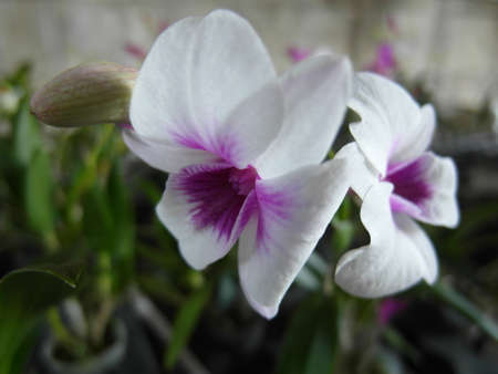 Orchid plants are widely distributed throughout the world Stock Photo - 113033525